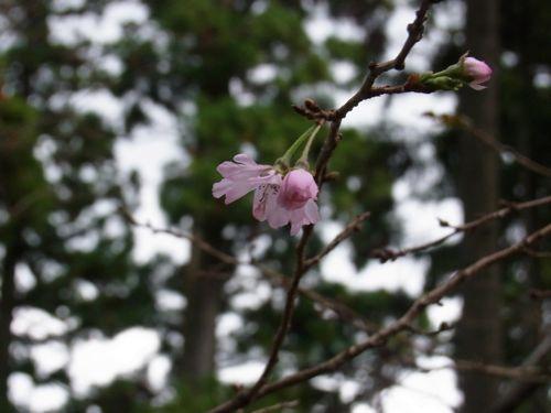 十月桜0001.jpg