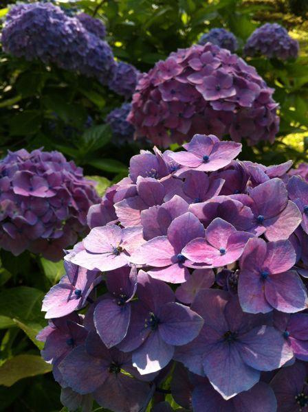 紫陽花むらさき.jpg